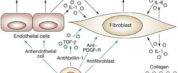 Fibroblasts, Fibroblasts cells