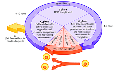 cell cycle assay, cell proliferation